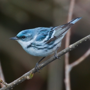 Cerulean Warbler (Photo: Wikipedia Commons)